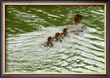 Lessons from Mother Duck Framed Giclee Print by Charles Glover