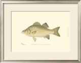 White Bass Prints by  Denton