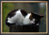 Cat Nap Framed Giclee Print by Stephen Lebovits