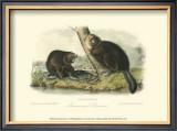 American Beaver Posters by John James Audubon