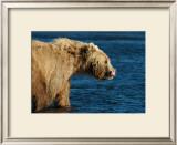 Kodiak Bear Lick Framed Giclee Print by Charles Glover