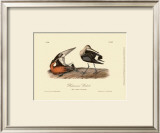 Hudsonian Godwit Art by John James Audubon