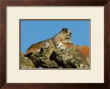 Marmot in Alaska Framed Giclee Print by Charles Glover