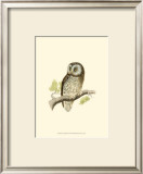 Tengmalm's Owl Posters by Reverend Francis O. Morris