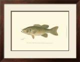 Small-Mouthed Black Bass Prints by  Denton
