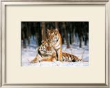 Tigres Art by Gilles Santantonio