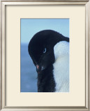 Blue-Eyed Adelie Penguin Framed Giclee Print by Charles Glover