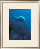 Mother and Baby Dolphins Poster by Charles Glover