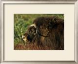 Musk Ox Bull Framed Giclee Print by Charles Glover