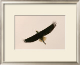 Bald Eagle Salmon Meal Framed Giclee Print by Charles Glover