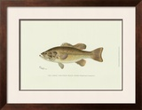 Large-Mouthed Black Bass Poster by Denton 