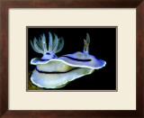 Blue Nudibranch, Glorious Sulawesi Art by Charles Glover