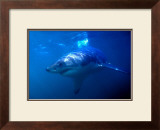 Great White Shark on Ocean Patrol Posters by Charles Glover