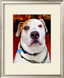 Sonny American Bulldog Prints by Robert Mcclintock