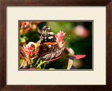 Red Admiral Print by Antonia Illsley