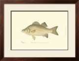 White Bass Art by  Denton