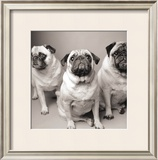 Three Pugs Posters by Amanda Jones