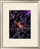 Clown Fish, Andaman Island Framed Giclee Print by Charles Glover