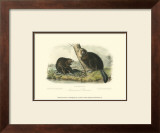 American Beaver Print by John James Audubon
