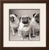 Three Pugs Prints by Amanda Jones