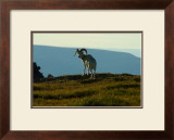 Dahl Sheep, Alaska Framed Giclee Print by Charles Glover