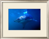 Great White Shark on Ocean Patrol Prints by Charles Glover