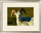 Dahl Sheep Framed Giclee Print by Charles Glover