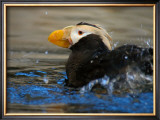 Horned Puffin, Alaska Framed Giclee Print by Charles Glover