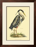Great Blue Heron Posters by Prideaux John Selby