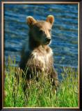 Kodiak Bear Cub Framed Giclee Print by Charles Glover