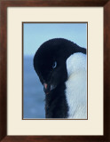 Blue-Eyed Adelie Penguin Framed Giclee Print by Charles Glover