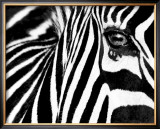Black &amp; White II (Zebra) Posters by Rocco Sette