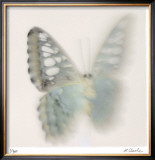 Butterfly Study 6 Limited Edition Framed Print by Claude Peschel Dutombe
