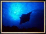 Sea Manta Burst Framed Giclee Print by Charles Glover