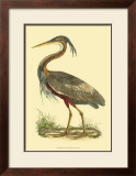 Purple Heron Art by Prideaux John Selby