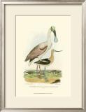 Roseate Spoonbill Prints by Alexander Wilson