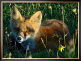 Fox in Alaska Spring Flowers Framed Giclee Print by Charles Glover