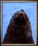 Fur Seal, Antarctica Posters by Charles Glover