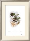 Glaucis Lanceolata, Hummingbirds Prints by John Gould