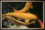 Golden Japanese Koi Fish Posters by Ryuji Adachi