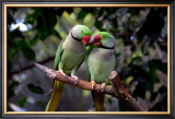 Parrot Love Framed Giclee Print by Petra Wels