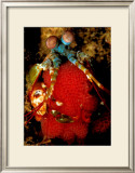 Mantis Shrimp Holding Eggs, Sulawesi Prints by Charles Glover