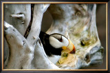 Alaska Puffin Hideout Framed Giclee Print by Charles Glover
