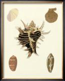 Knorr Shells II Print by George Wolfgang Knorr