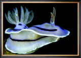 Blue Nudibranch, Glorious Sulawesi Print by Charles Glover
