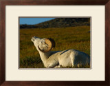 Ram Tan Framed Giclee Print by Charles Glover
