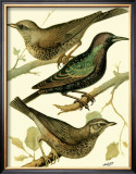 Domestic Bird Family IV Prints by W. Rutledge