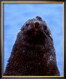 Fur Seal, Antarctica Art by Charles Glover