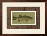 Small-Mouthed Black Bass Prints by  Harris