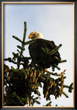 Bald Eagle in Pine Framed Giclee Print by Charles Glover